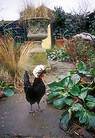 White crested black Polish rooster in backyard garden free-range, heirloom breed