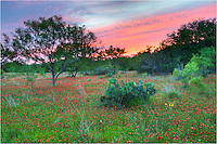 In the Texas Hill Country, bluebonnets give way each spring to the reds of firewheels and golds of greenthread. This Texas wildflower image captures a field sprinkled with firewheels with a wonderful sunset as a backdrop. ..We drove for about 3 hours looking for the best location to shoot sunset. We finally arrived here in Llano County at the magic hour. While the spring of 2013 was not the best year for Texas Wildflowers, there were still some iconic Texas images to be found.