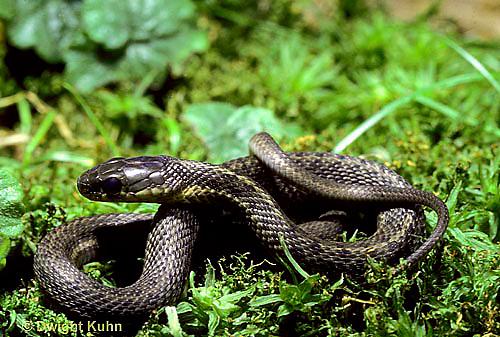 1R09-008b  Garter Snake - Thamnophis sirtalis