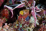 A velvet ghost pipefish (Solenostomus sp.), vioet in colour amongst colourful coral, Solomon Islands