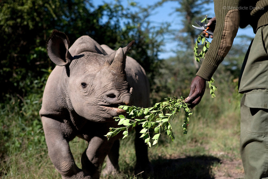 Mohamed Doyo, a keeper and employee at Ol Pejeta conservancy feeds a Southern White Rhino at the Ol Pejeta Conservancy Laikipia, Kenya on January 17, 2010. On December 20, 2009, four of the world's last eight known surviving northern white rhinos were relocated from captivity back to the wild in a last bid to save them from extinction. The four rhinos, two males and two females, named Sudan, Suni, Fatu and Najin - were transferred by air from Dvur Králové Zoo in the Czech Republic to the Ol Pejeta Conservancy in Laikipia, Kenya. It is thought that the climatic, dietary and security conditions that the rhinos will enjoy at Ol Pejeta will provide them with higher chances of starting a population in what is seen as the very last lifeline for the species. Photo credit: Benedicte Desrus