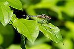 The Blue Dasher is a small blue dragonfly with a white face, a black tip to the abdomen, and a black-and-yellow-striped thorax. Females are recognized by the narrow yellow parallel stripes on the abdomen