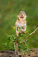 679270056 a wild mexican ground squirrel spermophilus mexicanus sits on a small plant eating a wild berry in the lower rio grande valley of south texas united states