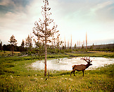USA, Wyoming, elk standing by lake on grass near Canyon Village, Yellowstone National Park