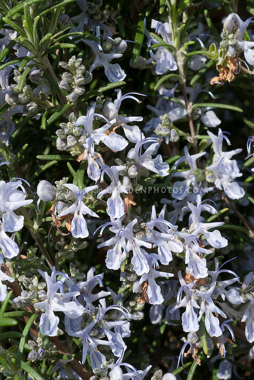 Rosmarinus officinalis 'Miss Jessup's Upright' rosemary herb in bloom