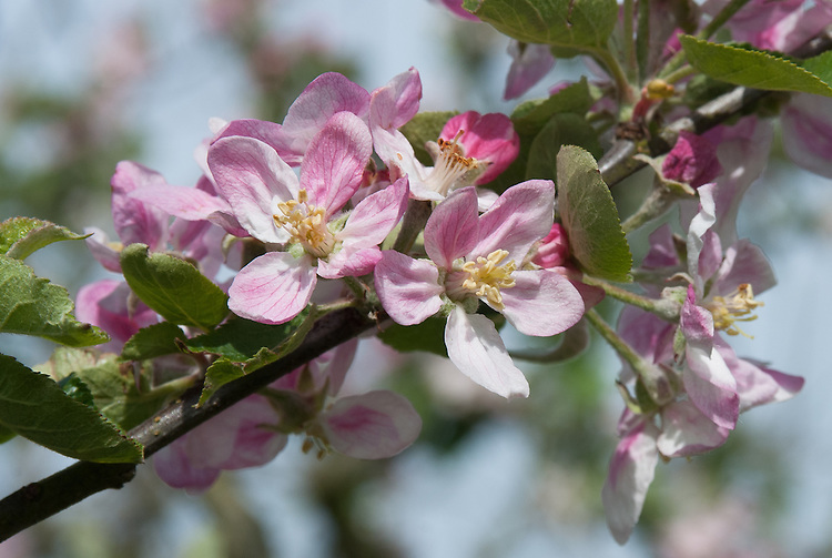 Blossom of Apple 'Bramshott Rectory', early May. An English dessert apple from the garden of Bramshott Rectory in Liphook, Hampshire.