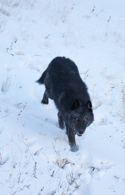 Gray Wolf (canis Lupus) In Yellowstone National Park, Montana, USA, Jan 4, 2009. Photo by Gus Curtis.