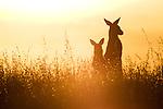 Eastern Grey Kangaroo (Macropus giganteus) mother and joey in grassland at sunset, Mount Taylor Nature Reserve, Canberra, Australian Capital Territory, Australia