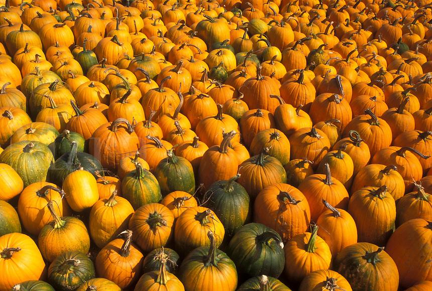 AJ4581, autumn, pumpkins, A large amount of pumpkins for sale cover an entire lawn.