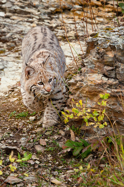 Bobcat walking down a rocky hill - CA