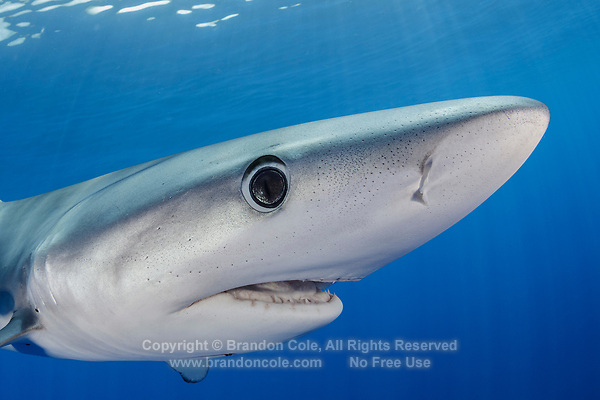 WQ1519-Dr. The Blue Shark (Prionace glauca) is found throughout tropical and temperate seas worldwide, primarily in the open ocean, from the surface to over 700 feet deep. It grows to over 12 feet long and feeds on squid, schooling bony fish like anchovies and sardines, and also on krill. Large eyes, long pectoral fins, long pointed nose, sleek body and metallic blue to silver gray skin color help to identify it. Azores, Portugal, Atlantic Ocean. <br /> Photo Copyright © Brandon Cole. All rights reserved worldwide.  www.brandoncole.com