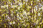 Fothergilla at the Arnold Arboretum in the Jamaica Plain neighborhood, Boston, Massachusetts, USA