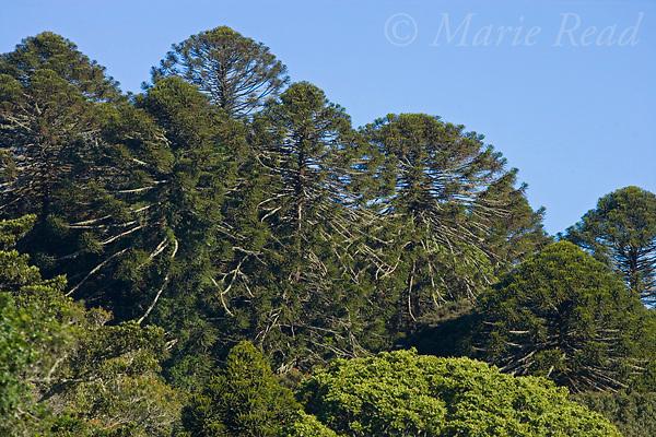 Bunya Pines (Araucaria bidwillii) , Bunya Mountains National Park, Queensland, Australia