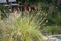 Pennisetum messiacum 'Bunny Tails' flowering meadow grass in Southern California Driggers Garden