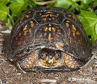 1002-0802  Male Eastern Box Turtle (Tucked in Shell), Terrapene carolina © David Kuhn/Dwight Kuhn Photography.