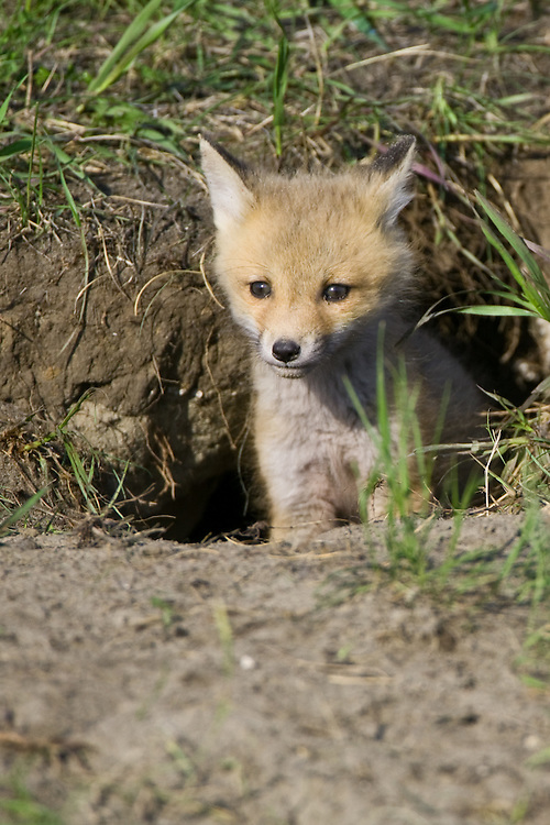 Red Fox Kit standing just at the entrance to its den