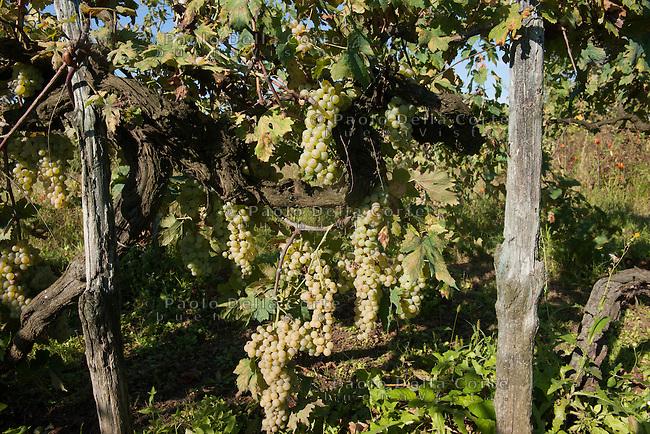 Venezia, Isola di Sant'e Erasmo. Gastone e Dariella Vio sono ila memoria storica della Dorona, il vino autoctono delle isole di Venezia. La vendemmia del 2014. NELLA FOTO VIGNETI DI UVA DORONA