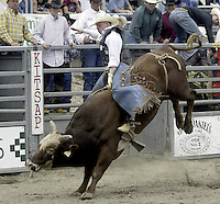 "29 Aug 2004:  PRCA Rodeo Bull Rider Steve Woosley  riding the bull ""Little Man"" during the PRCA 2004 Extreme Bulls competition in Bremerton, WA."