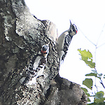 Two male Downey woodpeckers sparing for dominance on tree limb