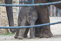 Two week old captive born baby Asian elephant named Asha walks with her mother Angele who gave birth on 14th February in the City Zoo in Budapest, Hungary on March 01, 2013. ATTILA VOLGYI