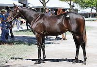 Hip #57 Bernardini - Banshee Winds colt at the  Keeneland September Yearling Sale.  September 9, 2012.