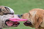 Frisbee tug of war at Markham Dog Park in Weston Florida.