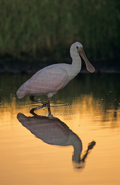 Roseate Spoonbill, Ajaia ajaja, immature at sunset, The Inn at Chachalaca Bend, Cameron County, Rio Grande Valley, Texas, USA