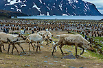 An adolescent king penguin challenges reindeer crossing through a penguin rookery on South Georgia Island. Long-gone European whalers brought reindeer to the island as a dietary alternative to whale meat. Reindeer herds continue to live throughout the remote island.