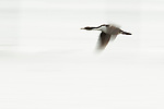 Imperial Shag (Phalacrocorax atriceps) sub-adult flying, Punta Arenas, Strait of Magellan, Patagonia, Chile