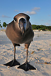 gooney bird black footed albatross on a sandy beach