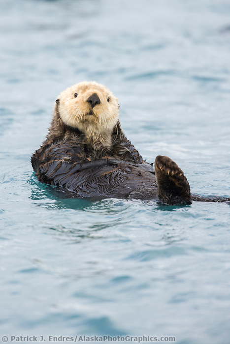 Sea otters in Harriman fjord, Prince William Sound, Alaska.