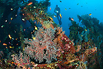 Coral encusted wreckage on the Liberty wreck, Tulamben, Bali