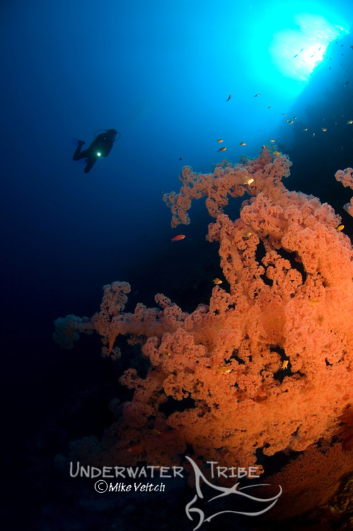 Soft Coral, Dendronephthya sp, and diver, Layang Layang atoll, Sabah, Borneo, Malaysia, South China Sea, Pacific Ocean