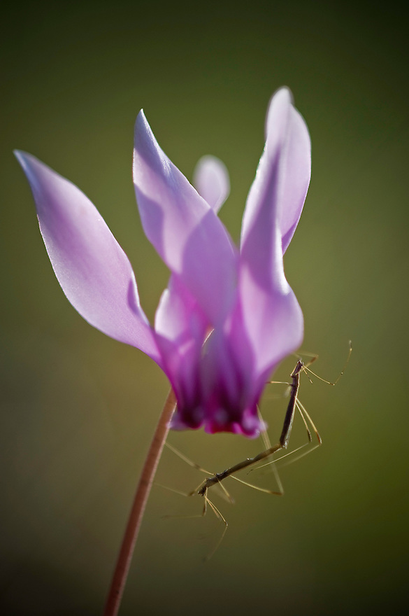 Greece, Meteora, Cyclamen (Cyclamen purpurascens) with mating insects