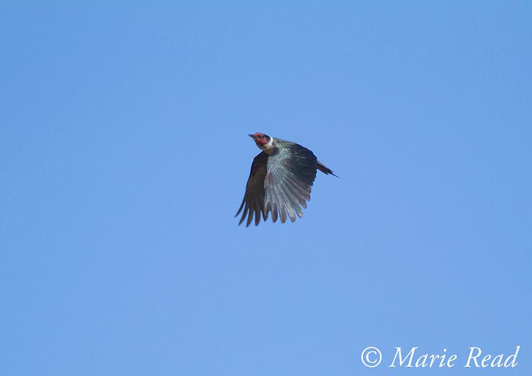Lewis's Woodpecker (Melanerpes lewis), in flight, Mono Lake Basin, California.