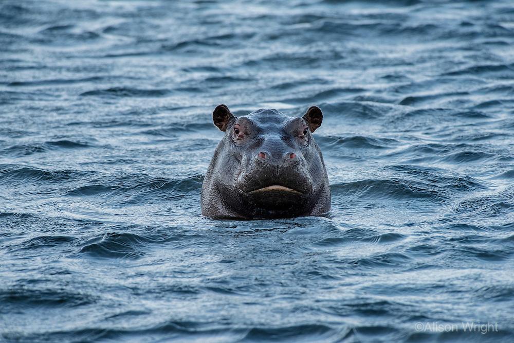 Africa, Botswana, Kasane, Chobe National Park, Chobe River, hippopotamus.