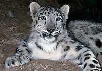 654409032 portrait of a three month old snow leopard panthera uncia - individual is a wildlife rescue - species is native to the high steppes of central asia