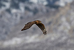 A Female Northern Harrier (Marsh Hawk) . She has a facial disk like an owl and while flying low over the fields she is looking down as well as listening for prey. A neat bird that ranges from the high mountains to the wetlands of the valleys. Taken during the Eagles & Agriculture event on Friday, Jan. 26, 2018 in the Carson Valley.