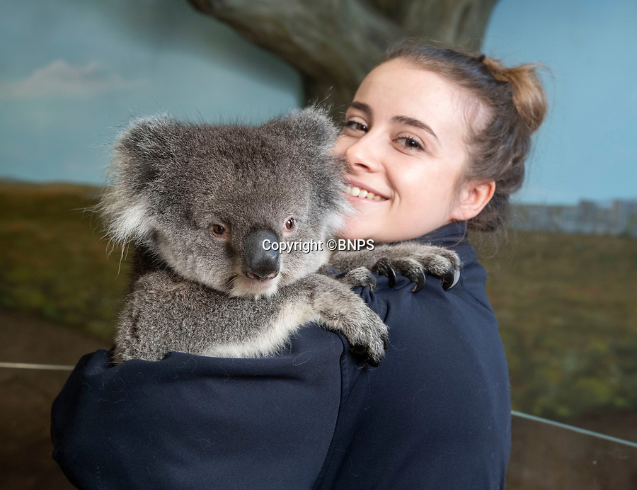 BNPS.co.uk (01202 558833)Pic:  PhilYeomans/BNPS<br /> <br /> Keeper Alessandra Topazio weighs one of the Koala's<br /> <br /> Groundbreaking research carried out by British scientists may help to secure the long term survival of the 'threatened' koala in the wild.<br /> <br /> They have identified a genetic mutation in the marsupials which causes a kidney disease that affects almost 60 per cent of koalas in captivity and the wild.<br /> <br /> The discovery was made by University of Nottingham researchers while carrying out tests on tragic Wilpena, a southern koala who died at Longleat Safari Park in Wilts last year.<br /> <br /> She had been bought over from Adelaide in Australia with four other koalas last October as part of a conservation programme, but succumbed to oxalate nephrosis in January.<br /> <br /> It is hoped the breakthrough will help them to develop cross-breeding programmes to eradicate the genetic mutation.