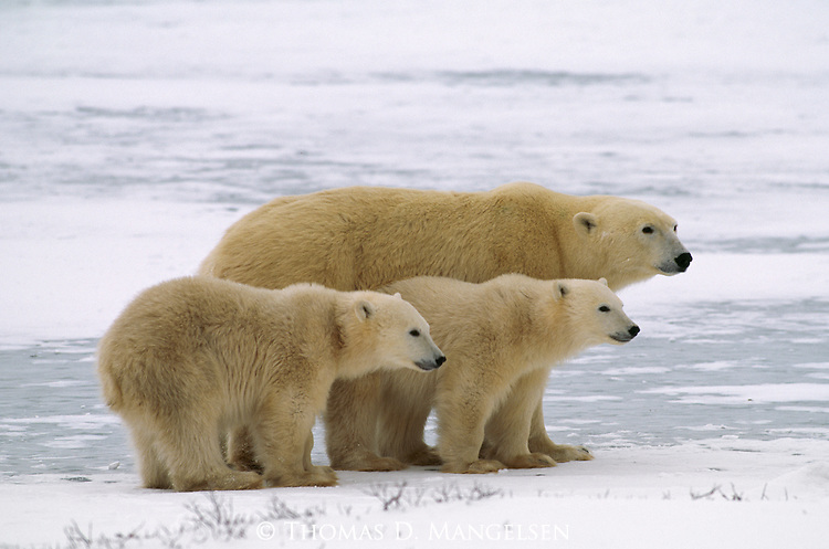 A polar bear stands with her cubs.
