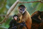 Black-handed spider monkey, Panama