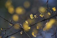 Kornelkirsche, Kornel-Kirsche, Kornellkirsche, Kornell-Kirsche, blühend, Blüte, Blüten, Cornus mas, Cornelian Cherry, European cornel, Le Cornouiller mâle, cornouiller sauvage