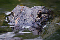 American Alligator in Everglades National State Park, Southwest Florida.