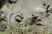 Asian Water Buffalo (Bubalus bubalis) enjoying a mud bath at a favored water hole during the dry season. (Prey Veng, Cambodia)