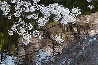 A branch of cherry blossom in full bloom hangs over the water at Higashi-Gyoen, the East Gardens of the Imperial Palace