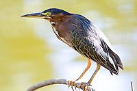 Green Heron, Arizona, USA
