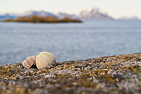 cracked sea urchin shell siting on rock with ocean in background, Lofoten, Norway
