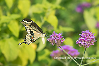 03017-01406 Giant Swallowtail (Papilio cresphontes) on Brazilian Verbena (Verbena bonariensis) Marion Co. IL