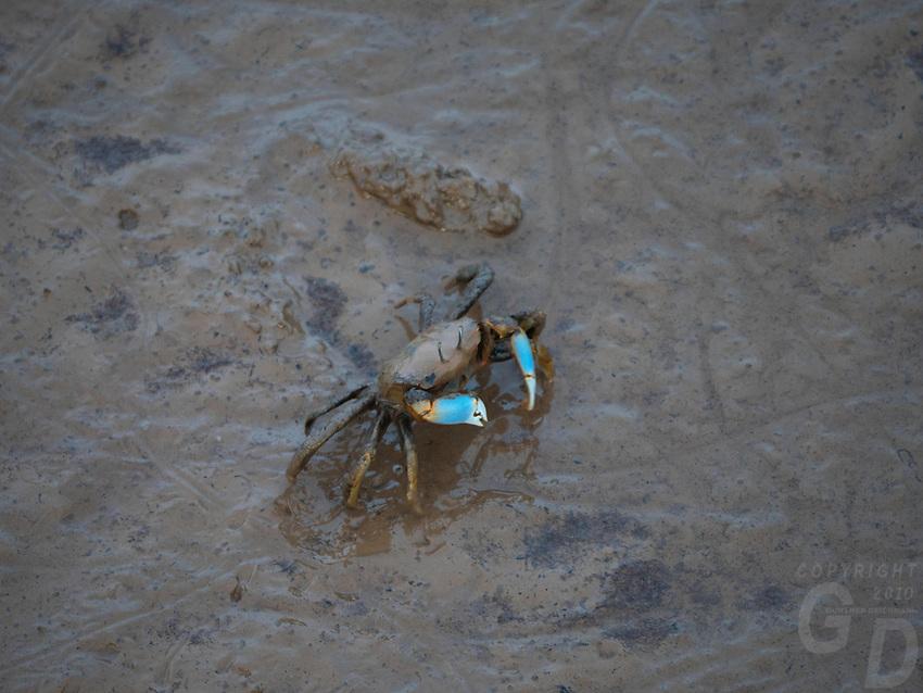 Mud Crabs on the Mudflats coastline of Bac Lieu, Vietnam