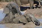 Elephants, Loxodonta africana, splashing, Addo National Park, Eastern Cape, South Africa